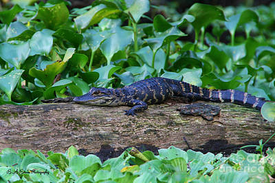 Photograph - Baby Alligator by Barbara Bowen