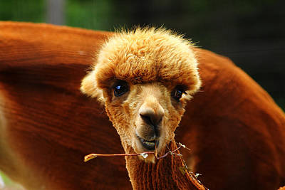 Photograph - Baby Alpaca 2 by Scott Hovind