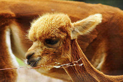 Photograph - Baby Alpaca 3 by Scott Hovind