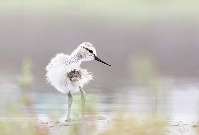 Irvine Photograph - Baby Avocet by Bmse