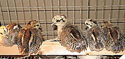 Photograph - Baby Chicks On Perch by Renee Trenholm