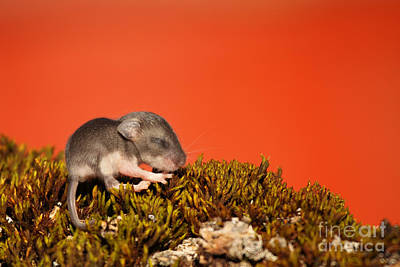 Baby Deer Mouse On Moss Art Print by Max Allen
