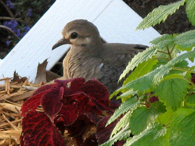 Art Print featuring the photograph Baby Dove by Kimberly Mackowski