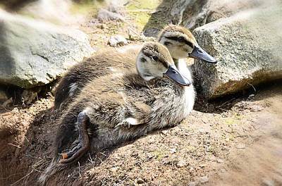 Baby Duckies  Art Print by Saija  Lehtonen