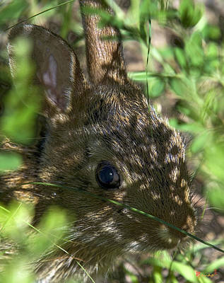 Photograph - Baby Eastern Cottontail Rabbit Dmam011 by Gerry Gantt