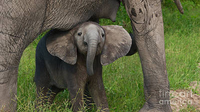 Photograph - Baby Elephant by Mareko Marciniak