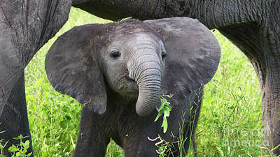 Baby Elephant With A Twig Art Print