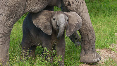 Photograph - Baby Elephant With Mother by Mareko Marciniak