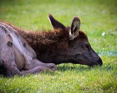 Art Print featuring the photograph Baby Elk by Steve McKinzie