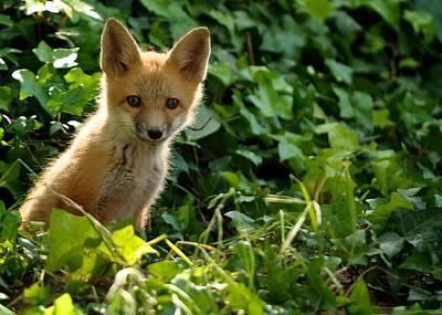 Baby Fox In The Ivy Original by Matt MacMillan