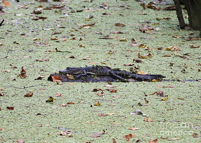 Baby Gator In The Swamp Print by Carol Groenen