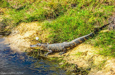 Photograph - Baby Gator by Shannon Harrington