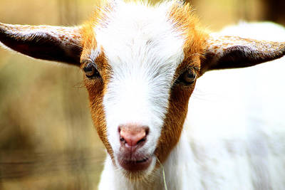 Photograph - Baby Goat 1 by Scott Hovind