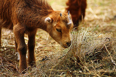 Photograph - Baby Goat 4 by Scott Hovind
