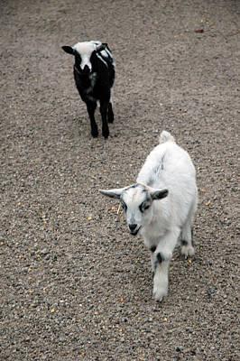 Wool Photograph - Baby Goats by LeeAnn McLaneGoetz McLaneGoetzStudioLLCcom