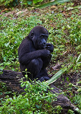 Photograph - Baby Gorilla by Jason Blalock