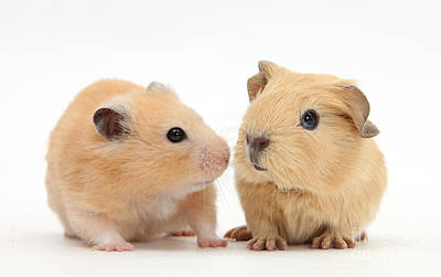 Baby Guinea Pig And Golden Hamster Print by Mark Taylor