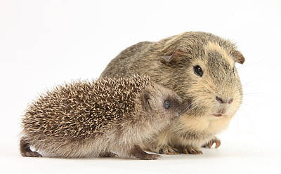 Baby Hedgehog And Guinea Pig Print by Mark Taylor