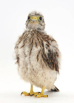 Falcon Photograph - Baby Kestrel by Mark Taylor