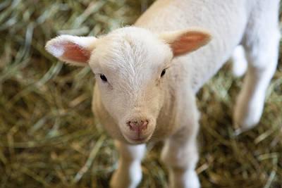 Baby Lamb Art Print by Lucidio Studio Inc