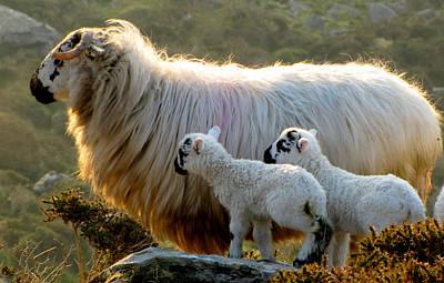 Baby-lambs Art Print by Barbara Walsh