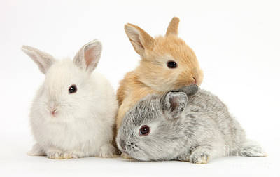 House Pet Photograph - Baby Lop Rabbits by Mark Taylor