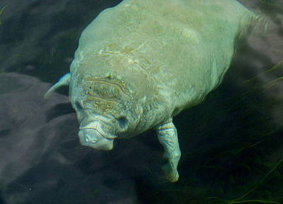Baby Manatee Print by Carla Parris