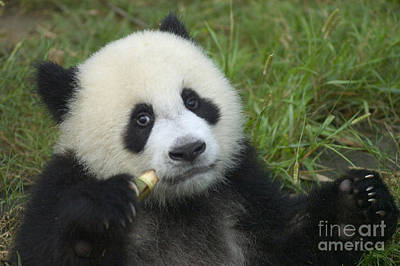 Art Print featuring the photograph Baby Panda by Craig Lovell