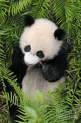 Art Print featuring the photograph Baby Panda In Ferns by Craig Lovell