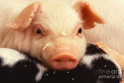 Baby Piglet Art Print by Science Source