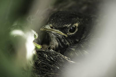 Art Print featuring the photograph Baby Robin by Tom Gort