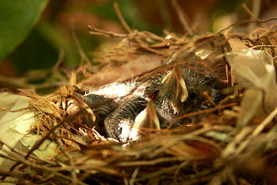 Photograph - Baby Robins In Nest by Emanuel Tanjala