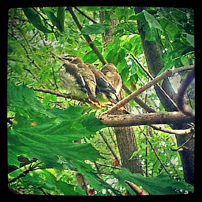 #baby #robins On My #pathway Waitin For Art Print