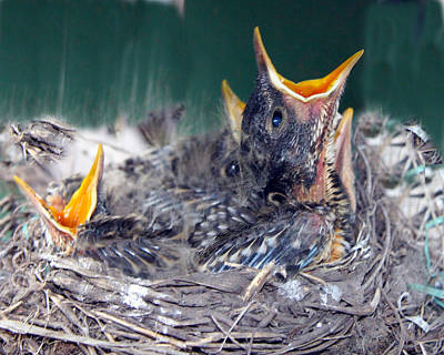 Photograph - Baby Robins Ready For Dinner by Amelia Painter