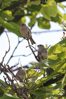 Photograph - Baby Sparrows by Scenesational Photos