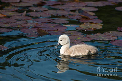 Baby Swan Art Print by Andrew  Michael