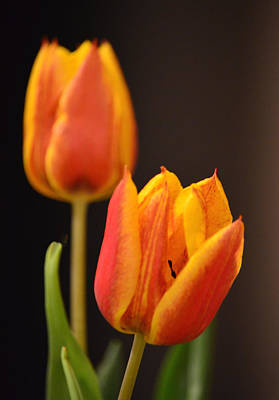 Photograph - Baby Tulips Close Up Macro by Sandi OReilly