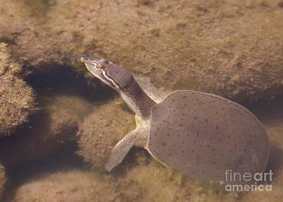 Baby Turtle Art Print