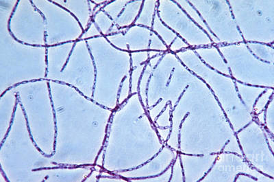Bacillus Anthracis Capsules, Lm Print by Eric V. Grave