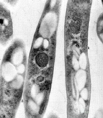 Bacillus Anthracis, Tem Art Print