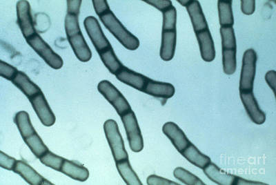 Photograph - Bacillus Megaterium by ASM/Science Source