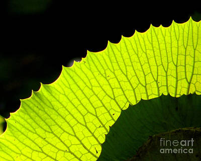 Photograph - Back Lit Leaf by Nancy Greenland