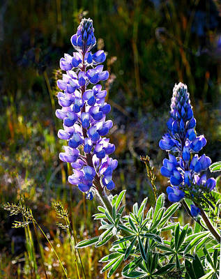 Photograph - Back Lit Lupine by Jean Noren