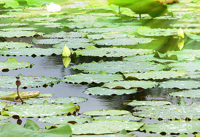 Background Of Pool With Waterlilly Original