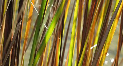 Backlit Grass Wc 2  Art Print by Lyle Crump