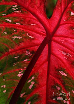 Photograph - Backlit Red Leaf by Sabrina L Ryan