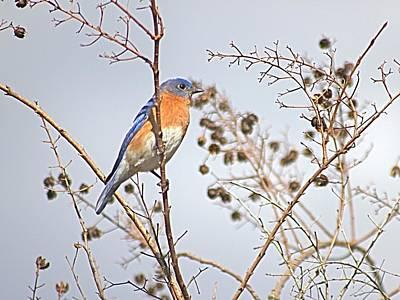 Photograph - Backyard Bluebird by Jeanne Kay Juhos