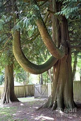 Mixed Media - Backyard Cedars by Bill Thomson