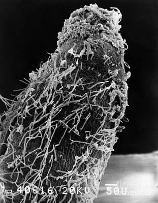 Bacteria On Sorghum Root Tip Print by Science Source