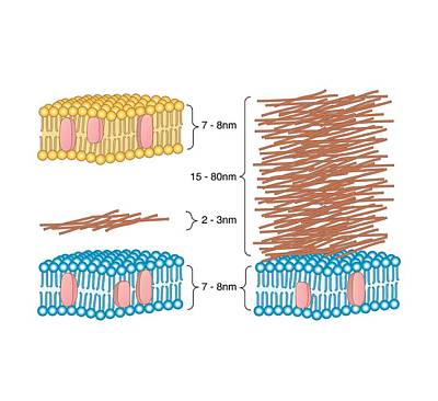 Bacterial Cell Wall Comparison, Artwork Print by Peter Gardiner